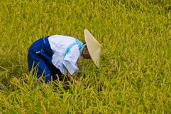 Rice harvest ceremony Royalty Free Stock Images