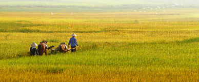 Rice harvest 01. Dai Tu - Thai Nguyen - Viet Nam Stock Photo