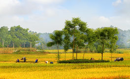 Rice harvest 02. Dai Tu - Thai Nguyen - Viet Nam Stock Photos