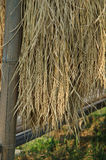Rice harvest. Drying on bamboo rack Royalty Free Stock Images