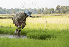 Rice harvest. Farmer in the rice field Royalty Free Stock Photo