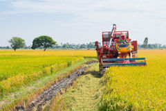 The rice harvest Royalty Free Stock Image