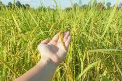 Rice harvest in hand Stock Photo