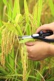 Rice harvest Stock Photo
