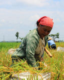 Rice harvest. In Indonesia only know two seasons, the rainy season and dry season, in the month of December to March entrance to the rainy season in the months Royalty Free Stock Image