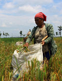 Rice harvest. In Indonesia only know two seasons, the rainy season and dry season, in the month of December to March entrance to the rainy season in the months Royalty Free Stock Photo