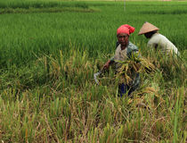 Rice harvest. In Indonesia only know two seasons, the rainy season and dry season, in the month of December to March entrance to the rainy season in the months Stock Photography