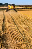 Rice harvest long distance view. Off center, showing cut furrows Royalty Free Stock Photos
