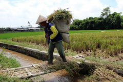 Rice harvest. After paddy rice harvested later collected in the warehouse and then ground into the rice to be sold or consumed itself, not just the rice produced Stock Photos
