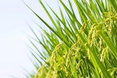 Rice harvest, paddy rice farm. Under blue sky Royalty Free Stock Photography