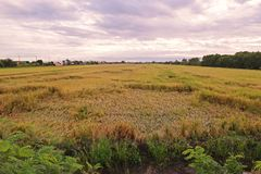 Rice at harvest period collapse from windy Stock Photo