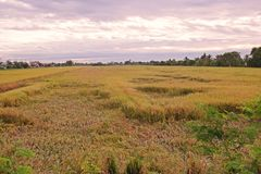 Rice at harvest period collapse from windy Royalty Free Stock Photos
