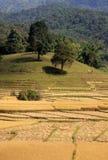 Rice harvest Royalty Free Stock Photos