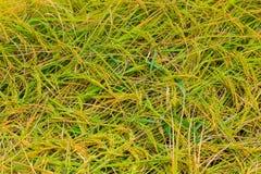 Rice harvest season Royalty Free Stock Image