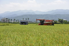 Rice harvest. Royalty Free Stock Photography
