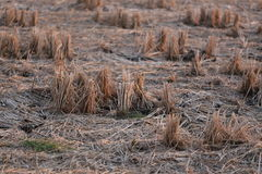 After the rice harvest Royalty Free Stock Images