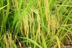 Rice harvested season. Ripe rice for harvesting season in Thailand Stock Photo