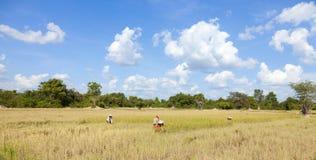 Rice harvesting Royalty Free Stock Image