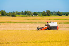 Rice harvesting Royalty Free Stock Photos