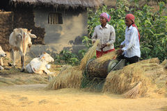 Rice harvesting. Spouse are seen at the work of harvesting ripe paddy. They are doing their work peacefully Royalty Free Stock Photos
