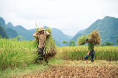 Rice harvesting in Vietnam Stock Photo