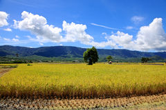 Rice Hometown in Taidong,Taiwan Royalty Free Stock Photos
