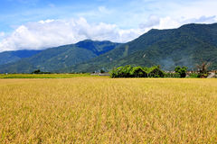 Rice Hometown in Taidong,Taiwan Stock Image