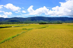 Rice Hometown in Taidong,Taiwan Royalty Free Stock Image