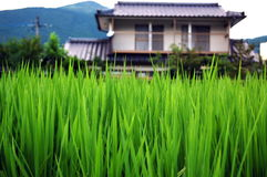The rice and house royalty free stock photo