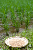 Rice husk Royalty Free Stock Photography
