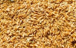 Rice husk on the floor. Stock Image
