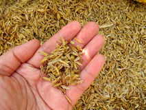 Rice husk on hand Royalty Free Stock Photo