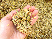 Rice husk on hand Stock Photo