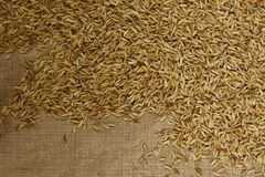 Rice with the husk still on, on a blanket drying in the sun royalty free stock image