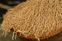 Rice in the husks, paddy, unmilled rice in wicker bamboo basket, Royalty Free Stock Images