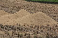 Rice husks. Used for fuel to fertilizer Stock Image