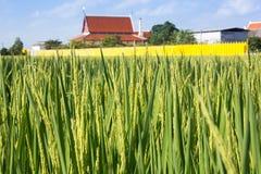 Rice i fält Arkivfoto