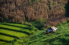 Rice i kukurudza Obraz Stock