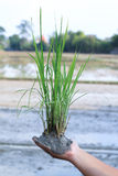 Rice i ziemia Obrazy Royalty Free
