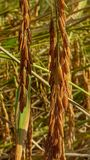 Rice. If Thailand Stock Photo