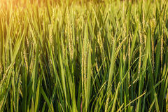 Rice in India Royalty Free Stock Image