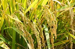 Rice is infected by fungus disease Royalty Free Stock Photos