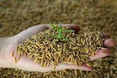Rice - irlandczyk Zdjęcie Stock