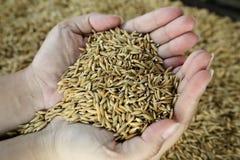 Rice - irlandczyk Zdjęcie Royalty Free