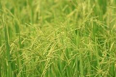 Rice jest głównym jedzeniem ludzie w Azja Obrazy Stock