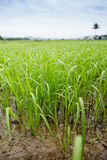 Rice jest pięknym zielenią Obrazy Stock