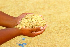 Rice kernel in farmer's hand. Stock photo Royalty Free Stock Photos