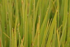 Rice leaves disease. Plant pathology , fungi Royalty Free Stock Photos
