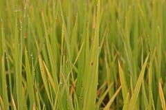Rice leaves disease. Plant pathology , fungi Royalty Free Stock Photo