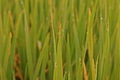 Rice leaves disease. Plant pathology , fungi Royalty Free Stock Images